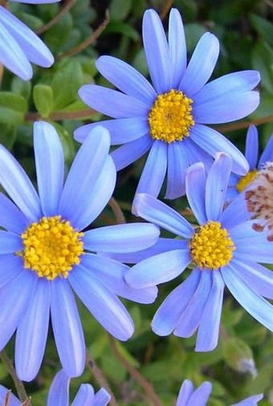feliciia blue