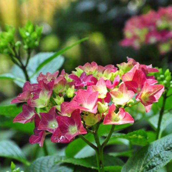 hydrangea-macrophylla-ab-green-shadow