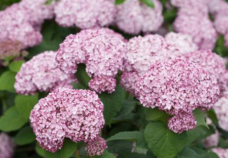 Hydrangea-arboresces-Sweet-Annabelle-incrediball_blush_hydrangea-1-7_1280x1280