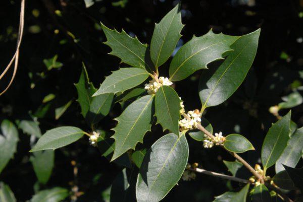 Osmanthus_heterophyllus