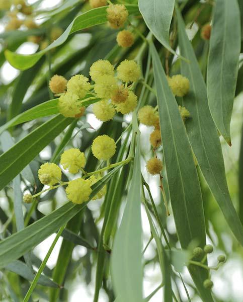 acacia retinodes