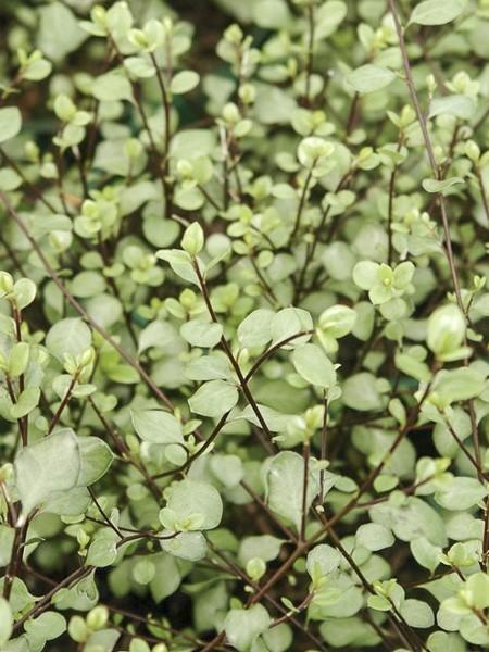 pittosporum-green-elf-