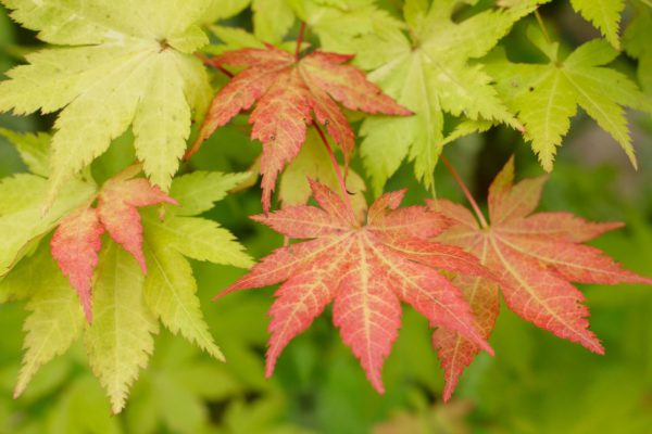 Acer palmatum 'Summer Gold' Japanese maple leaves displaying  red tinged leaves in early autumn. UK