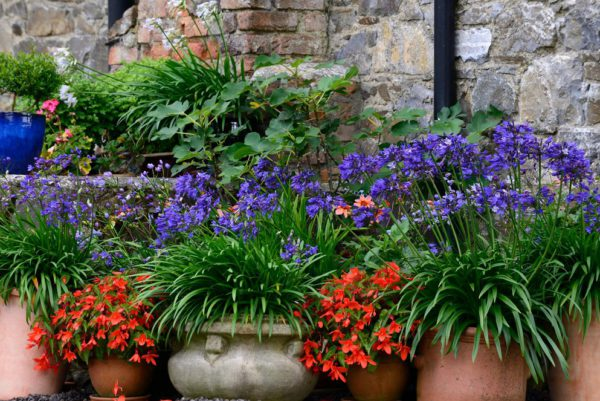 Agapanthus Navy Blue, Agapanthus Midnight Star,Begonia Firewings Orange,trailing begonias,pot,pots,containers,container gardening,display,displays,sum