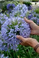 Agapanthus blue Infinity Panaga