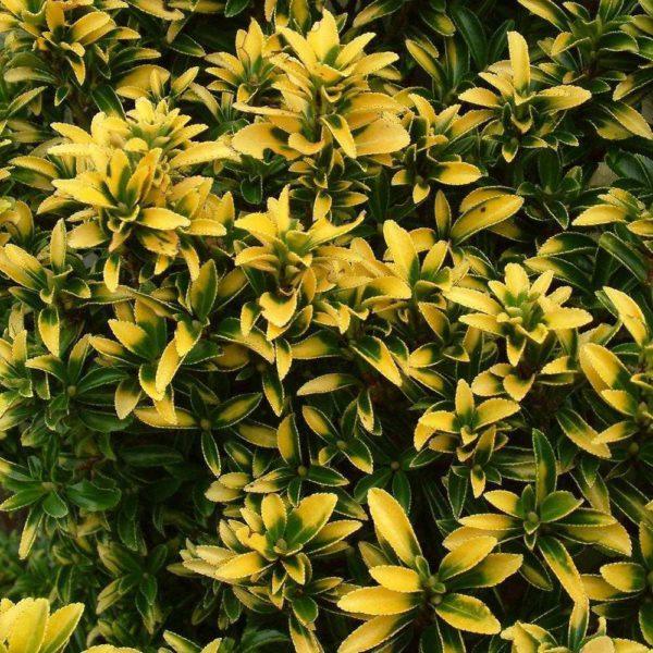 Euonymus pulchellus Aurea