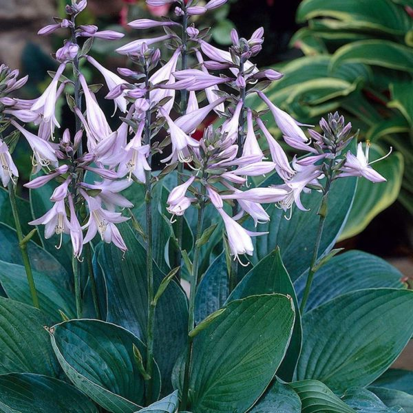 Hosta-hyacinthina