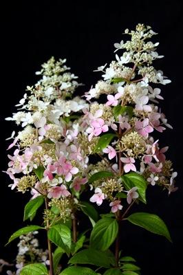 Hydrangea paniculata confetti