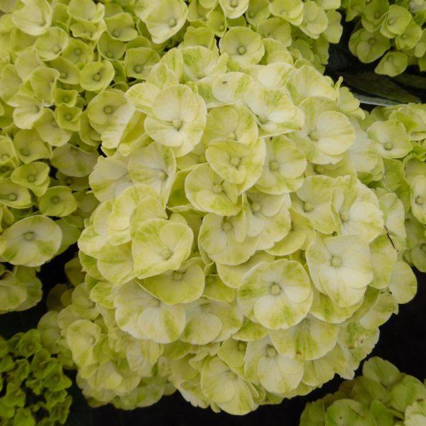 hydrangea-macrophylla-caipirinha