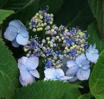 hydrangea_serrata_annies_blue