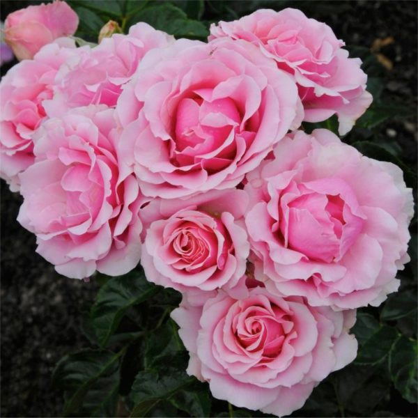 rose-evy