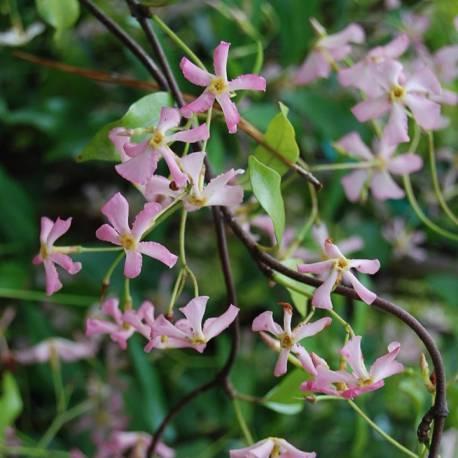 trachelospermum-asiaticum-pink-showers-