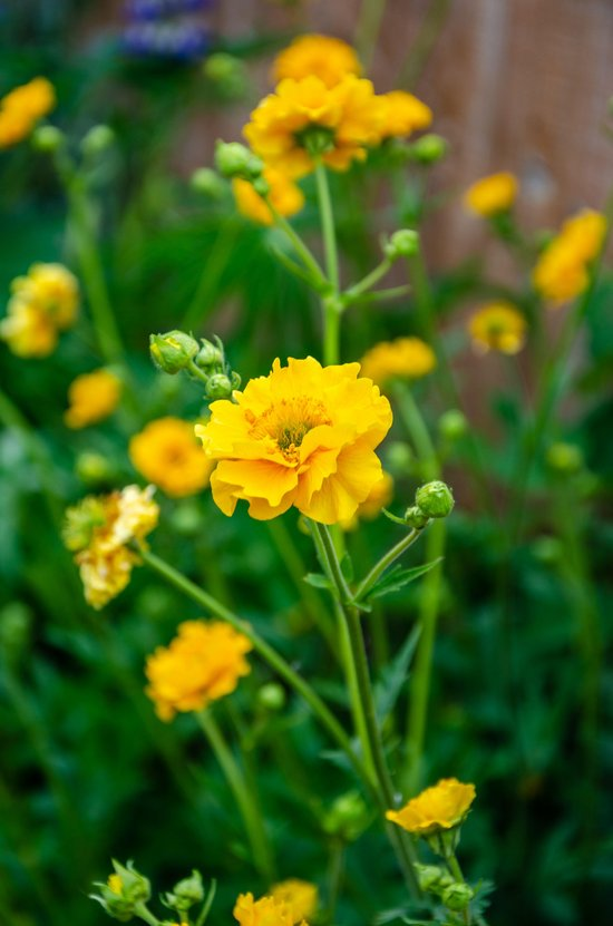 Geum 'Lady Stratheden' with yellow flowers in a residential garden.