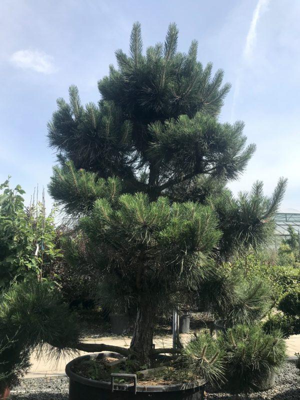 Pinus Nigra.2