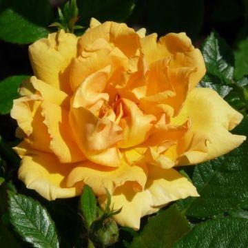 Rosa Amber Nectar
