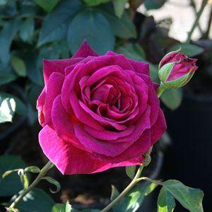 Rosa Blackberry Nip