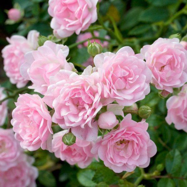 Rosa-The-Fairy