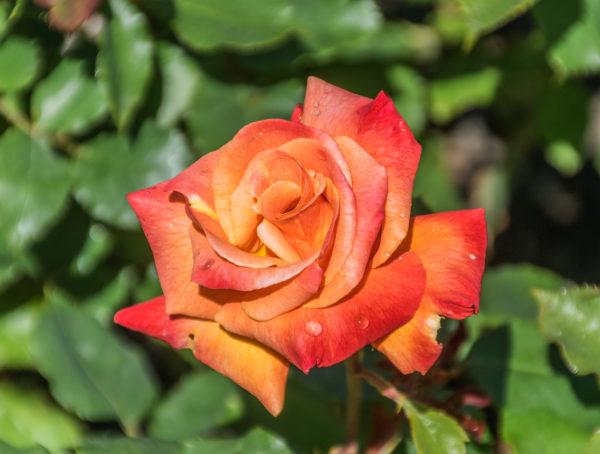 Rosa_'Bonfire'