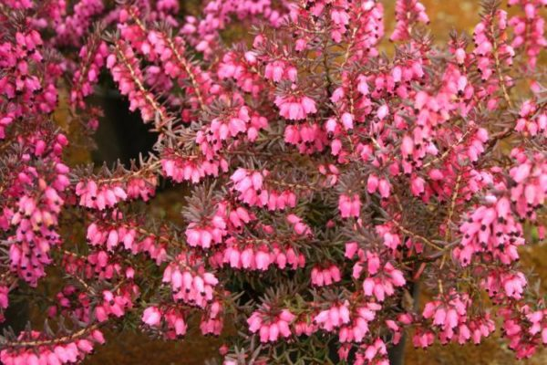 erica-darleyensis-pink-harmony