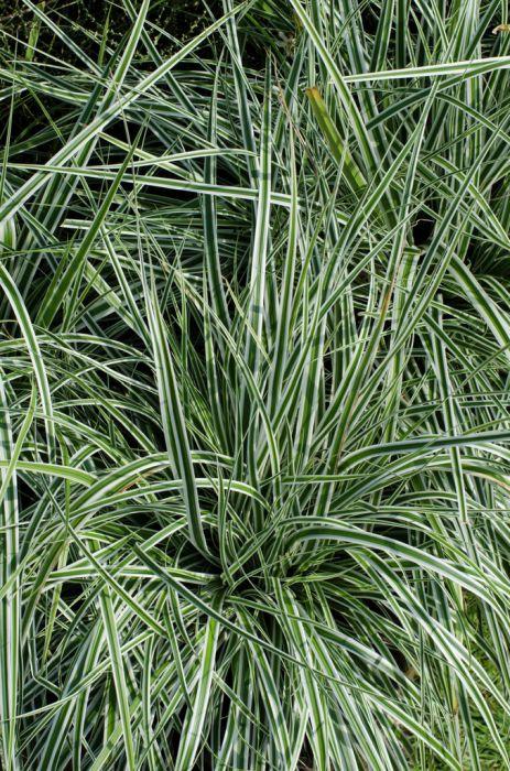 Carex Everest Fiwhite