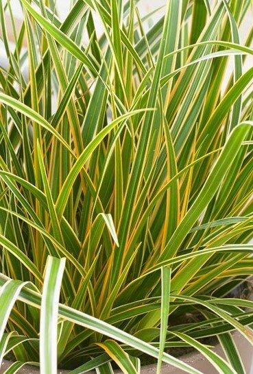 Carex_Evercolour_Everglow
