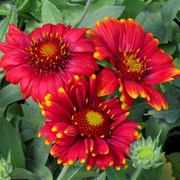 grandiflora_az_red_shades