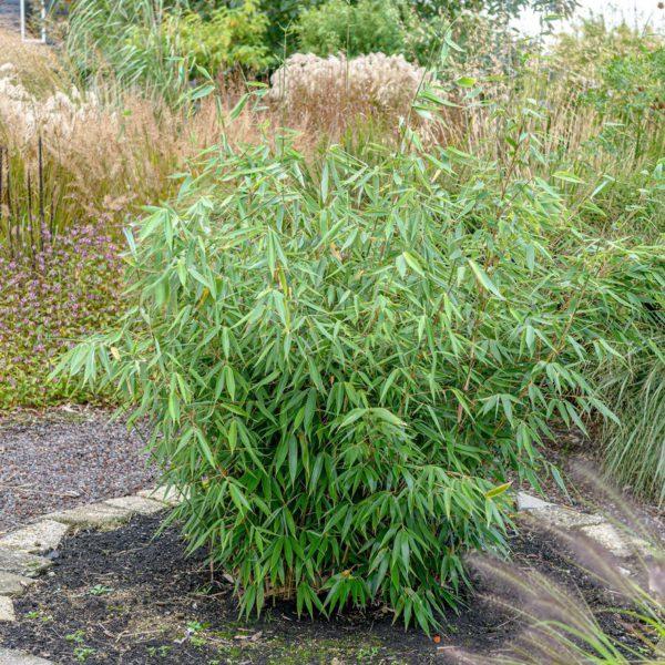 Harter Schirmbambus, Fargesia robusta Campbell, Hard screen bamboo, Fargesia robusta Campbell