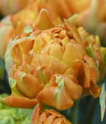 Double Late Tulip – Sunlover