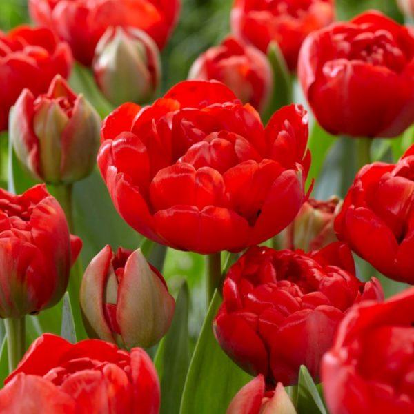Double late tulip Miranda