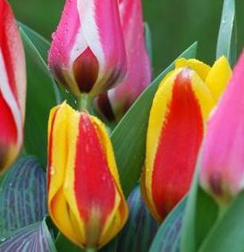 Greigii Tulip Mixed