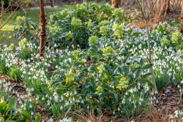 Holly-leaved hellebore, Corsican hellebore (Helleborus argutifolius), blooming with snowdrops