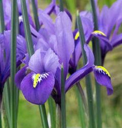 Iris Species – Reticulata Harmony