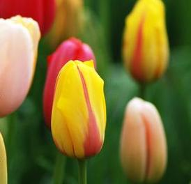Mixed Tulips – Single