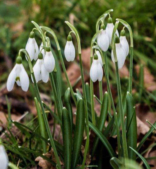 Snowdrops Galanthus Woronowii