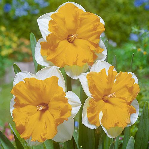 Split Corona Daffodil Orangery