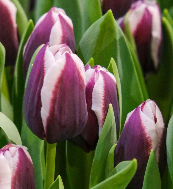 Triump Tulip Alexander Pushkin