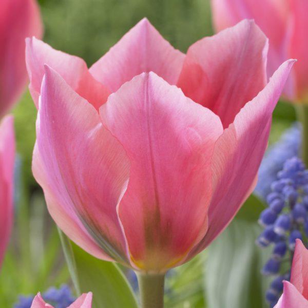 Tulipa Albert Heijn