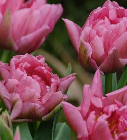 Tulip-Double-Mamma-Mia