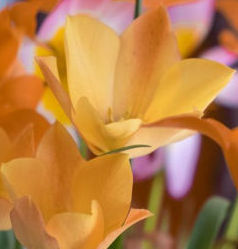 Tulip Species – Bright Gem