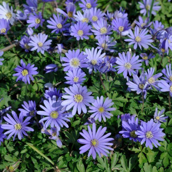 anemone-blue-shades