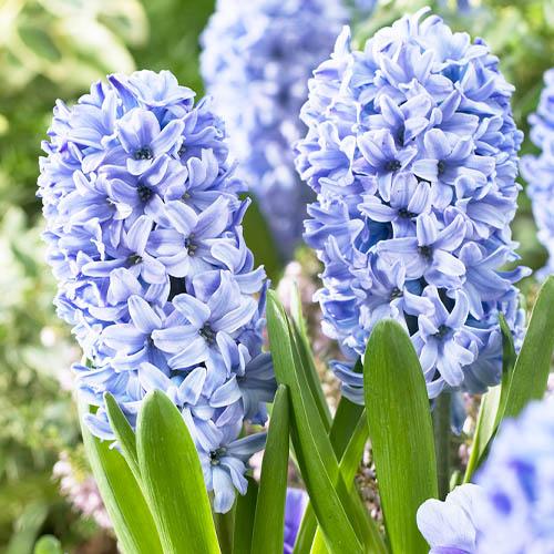 hyacinth-delft-blue