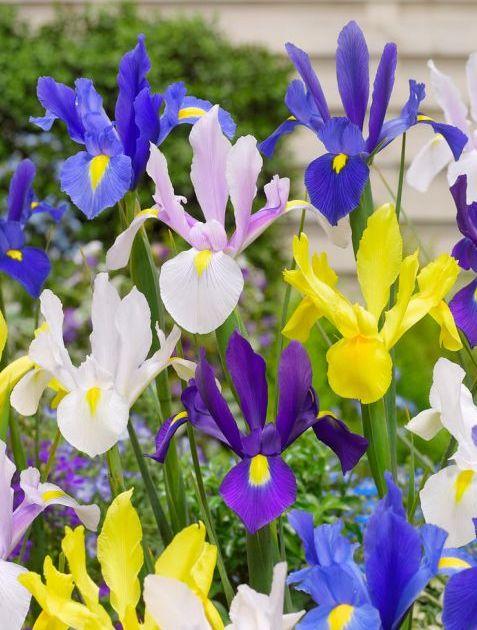 iris-mixed