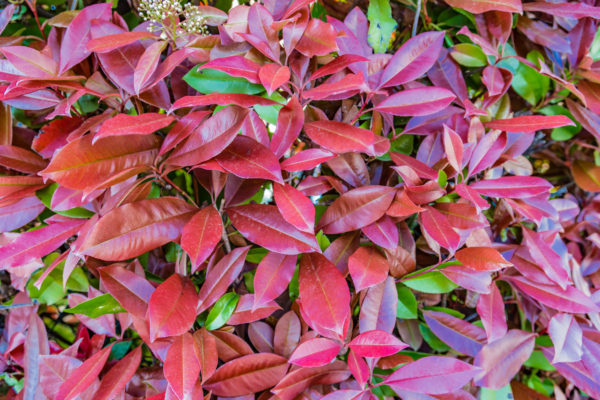red and green leaves of  photinia